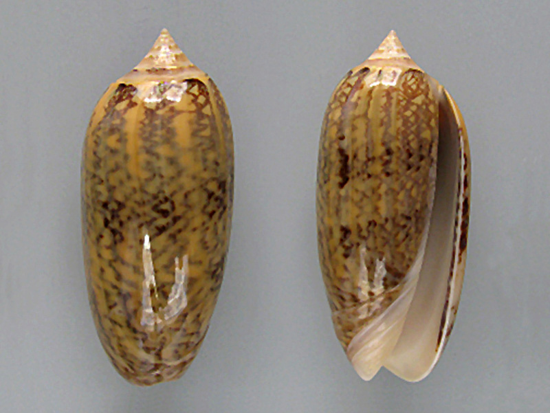 Americoliva circinata f. tostesi (Petuch, E.J, 1987) accept as Americoliva circinata (Marrat, 1871) Americ10
