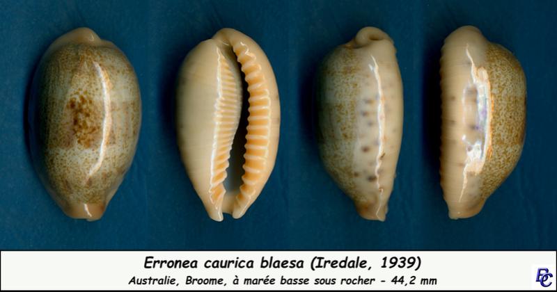 Erronea caurica blaesa - Iredale, 1939 Cauric15