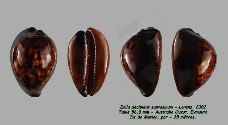 Zoila decipiens suprasinum - Lorenz, 2002 Decipi10