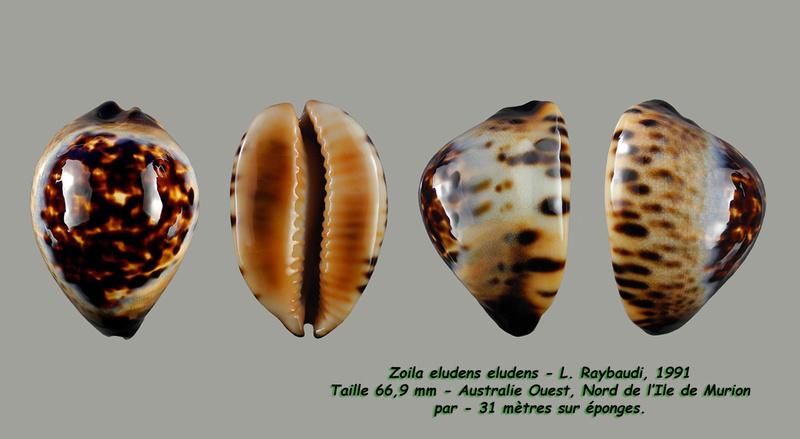 Zoila eludens - L. Raybaudi, 1991 Eluden12