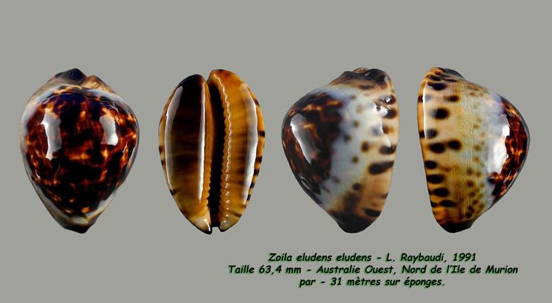 Zoila eludens - L. Raybaudi, 1991 Eluden14