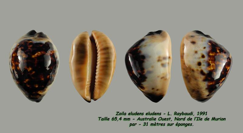 Zoila eludens - L. Raybaudi, 1991 Eluden16