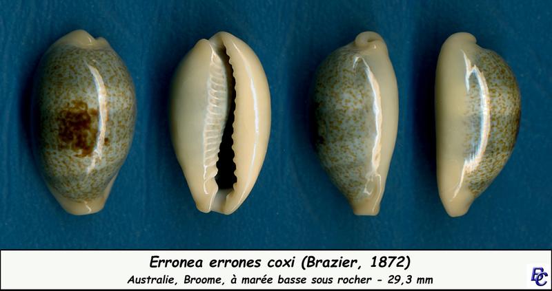 Erronea errones coxi - (Brazier, 1872) - Page 2 Errone14