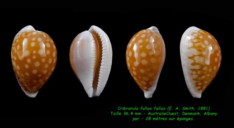 Cribrarula fallax - (E. A. Smith, 1881) Fallax10