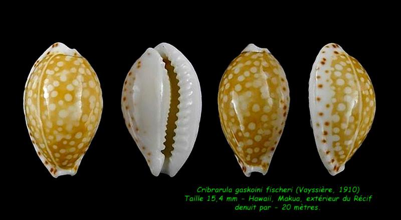 Cribrarula gaskoini - (Reeve, 1846)  - Page 2 Gaskoi12