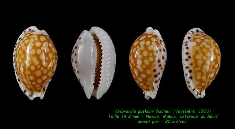 Cribrarula gaskoini - (Reeve, 1846)  - Page 2 Gaskoi13