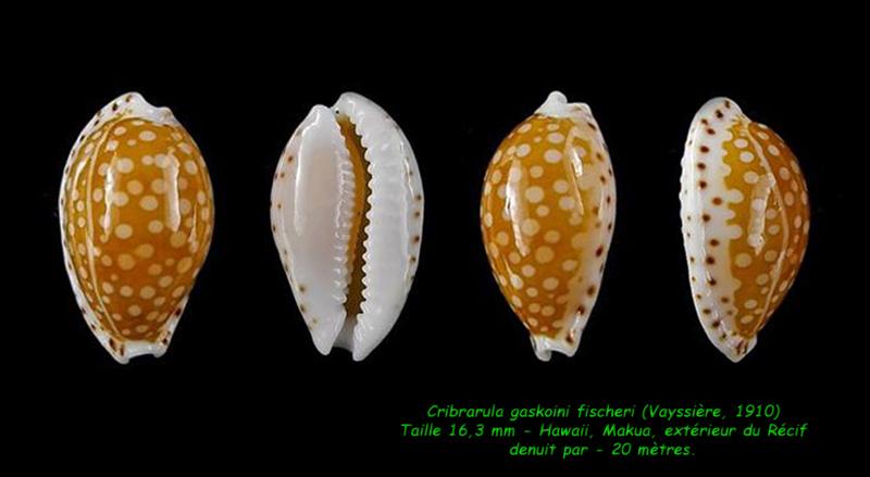Cribrarula gaskoini - (Reeve, 1846)  - Page 2 Gaskoi14