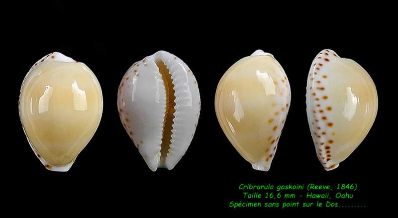 Cribrarula gaskoini - (Reeve, 1846)  Gaskoi15