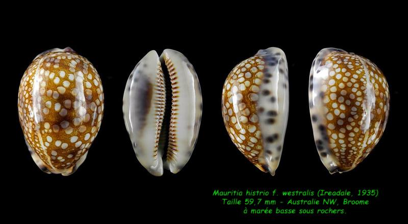 Mauritia histrio f. westralis - (Iredale, 1935) Histri11