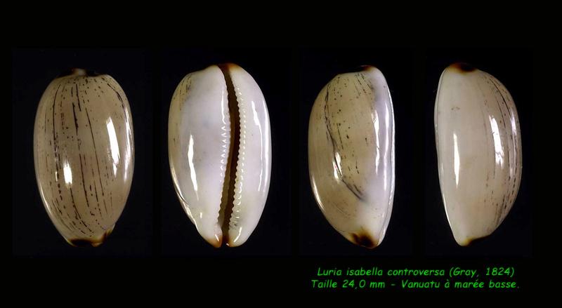 Luria isabella controversa - (Gray, 1824) voir Luria isabella (Linnaeus, 1758) Isabel13