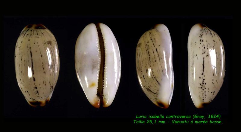 Luria isabella controversa - (Gray, 1824) voir Luria isabella (Linnaeus, 1758) Isabel14