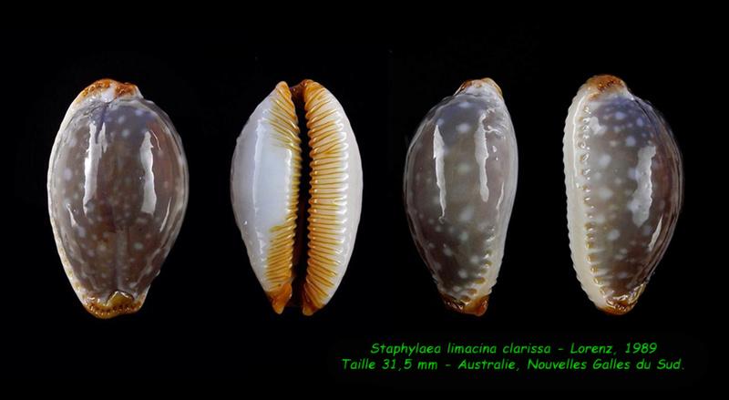 Staphylaea limacina clarissa - Lorenz, 1989 Limaci10