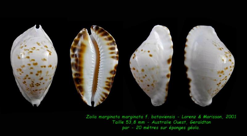 Zoila marginata marginata f. bataviensis - Lorenz & Morrison, 2001 Margin14