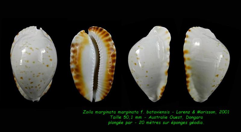 Zoila marginata marginata f. bataviensis - Lorenz & Morrison, 2001 Margin17