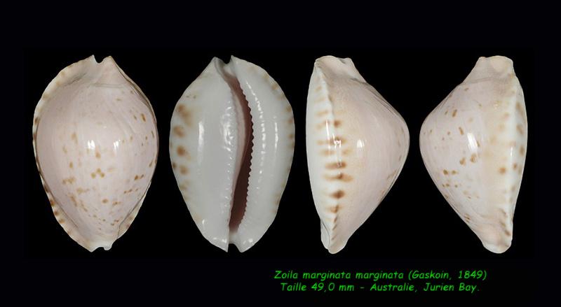 Zoila marginata - (Gaskoin, 1849) - Page 2 Margin19