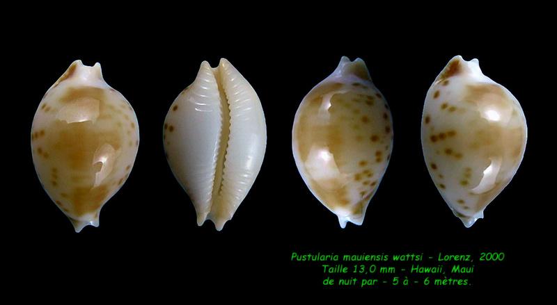 Pustularia mauiensis wattsi - Lorenz, 2000 Mauien10