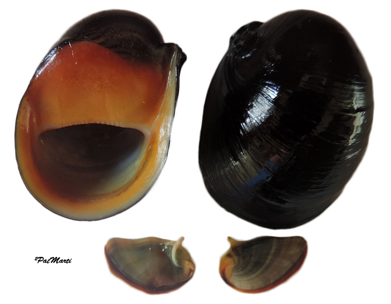 Neritina canalis - Sowerby I, 1825 Neriti10