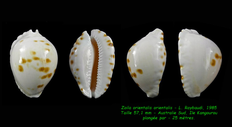 Zoila orientalis orientalis - L. Raybaudi, 1985 Orient10