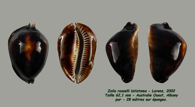 Zoila rosselli latistoma - Lorenz, 2002 - Page 2 Rossel13