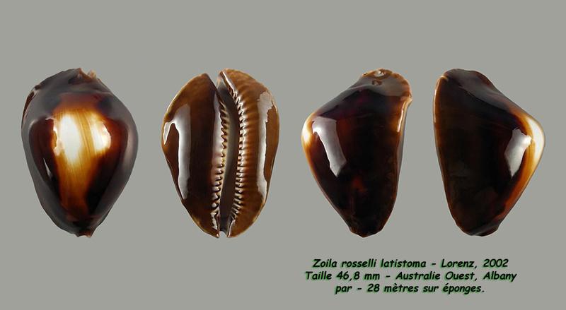 Zoila rosselli latistoma - Lorenz, 2002 - Page 2 Rossel17