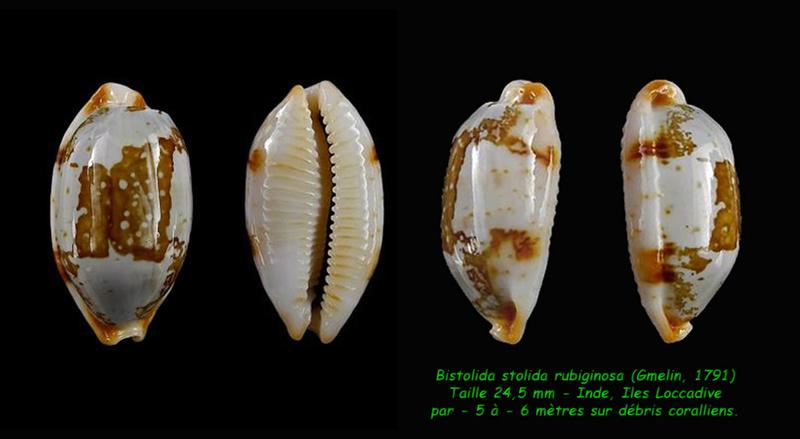 Bistolida stolida rubiginosa - (Gmelin, 1791) - Page 2 Stolid10