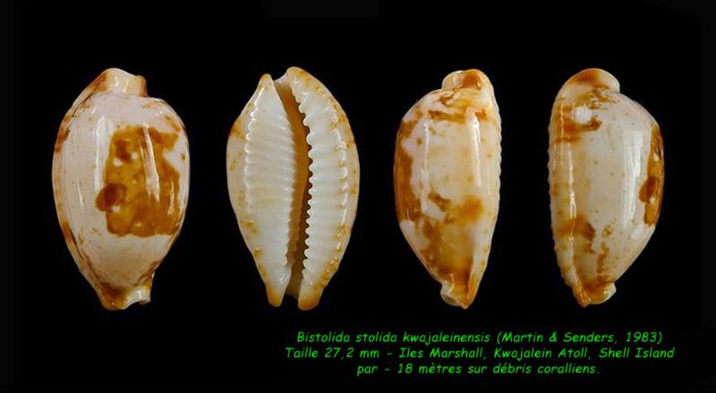 Bistolida stolida kwajaleinensis - (Martin & Senders, 1983)  Stolid11