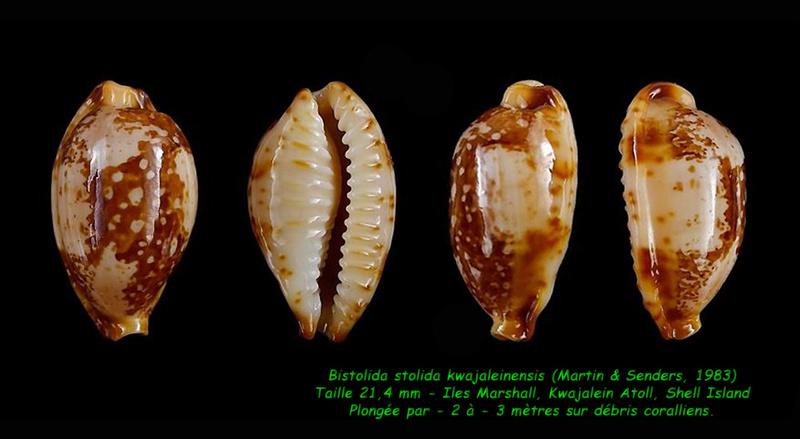 Bistolida stolida kwajaleinensis - (Martin & Senders, 1983)  Stolid12