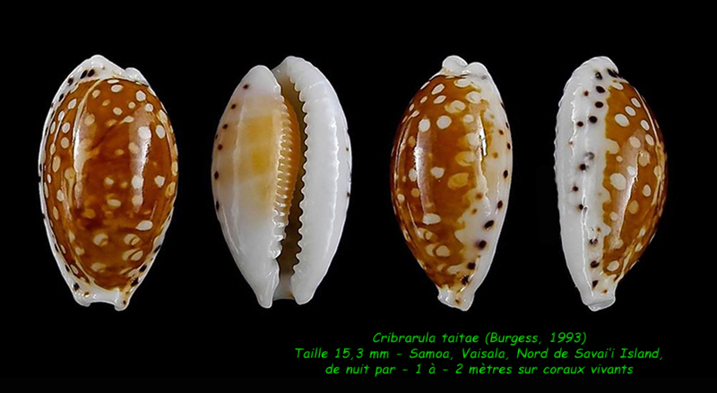 Cribrarula taitae - (Burgess, 1993) Taitae10