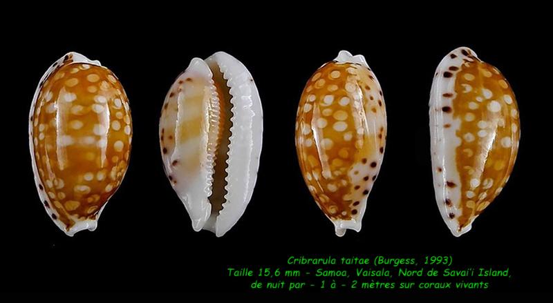 Cribrarula taitae - (Burgess, 1993) Taitae11