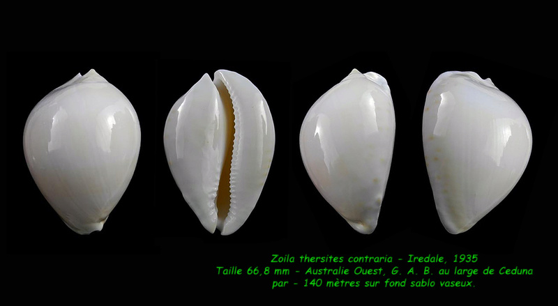 Zoila thersites contraria - Iredale, 1935  Thersi10