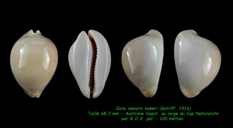 Zoila venusta bakeri- (Gatliff, 1916) Venust18