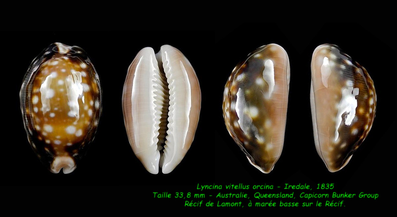 Lyncina vitellus f. orcina - Iredale, 1931 Vitell10