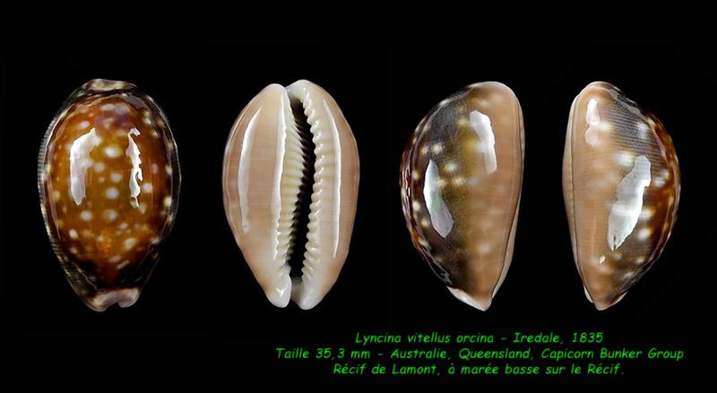 Lyncina vitellus f. orcina - Iredale, 1931 Vitell11