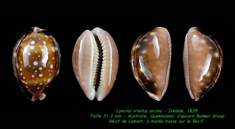 Lyncina vitellus f. orcina - Iredale, 1931 Vitell12