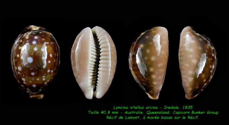 Lyncina vitellus f. orcina - Iredale, 1931 Vitell13