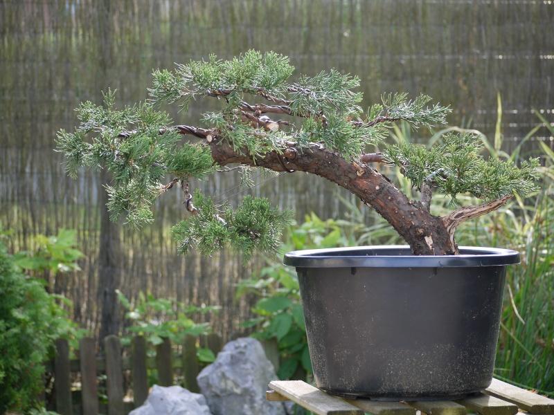 juniperus P1010710