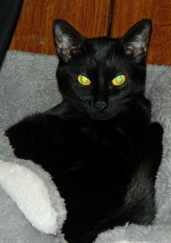 BlackMoon, mon petit chat, pas très futé, mais adorable xD Blackm14