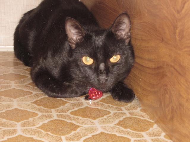 sos!!perdu HENK chat noir de BDS  sur lorient (56) 00610