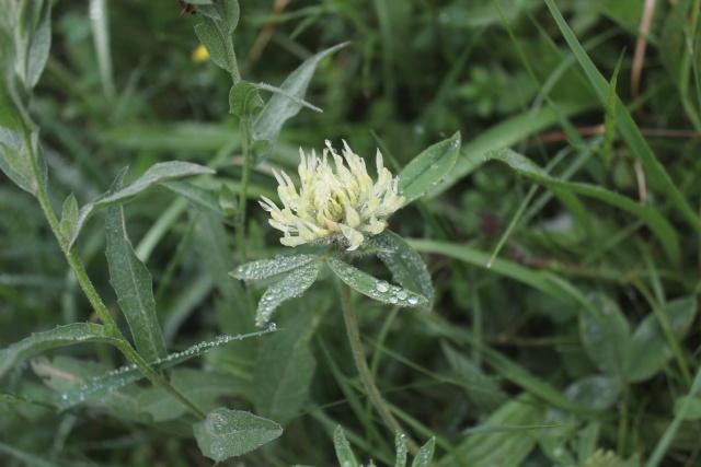 Trifolium montanum - trèfle de montagne 15_9310