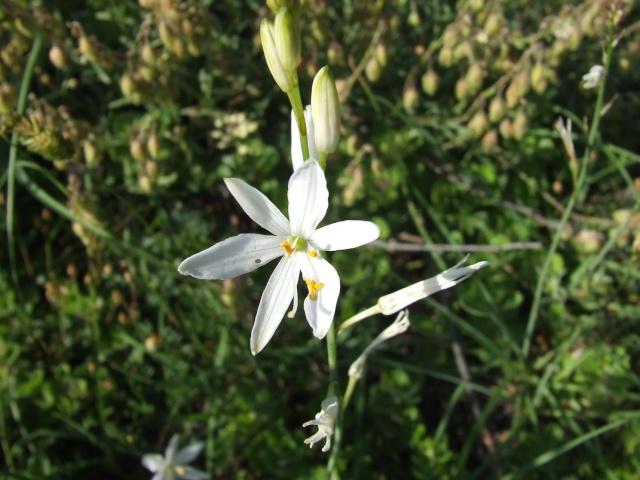 Anthericum liliago - phalangère à fleurs de lis 29_50_10