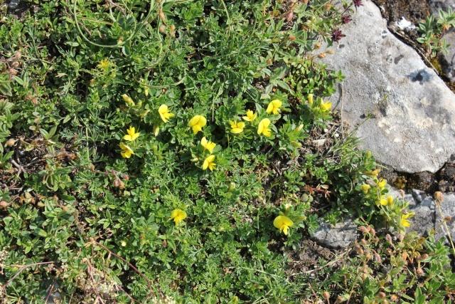 Ononis sp. fleurs jaunes  [id. non terminée] 30_2310