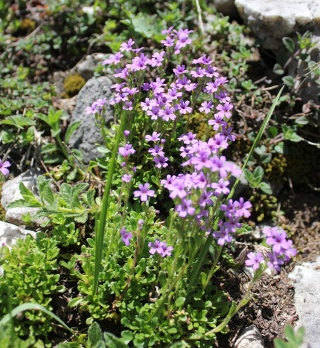 Erinus alpinus - érine des Alpes 7_61_e10
