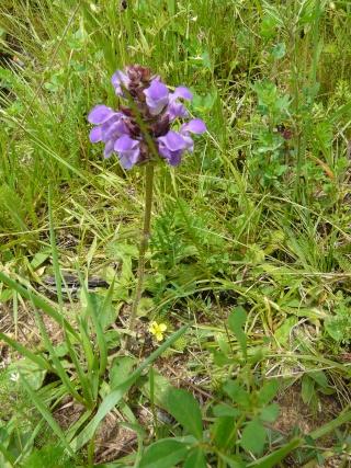 Prunella grandiflora - brunelle à grandes fleurs  9_33_p11