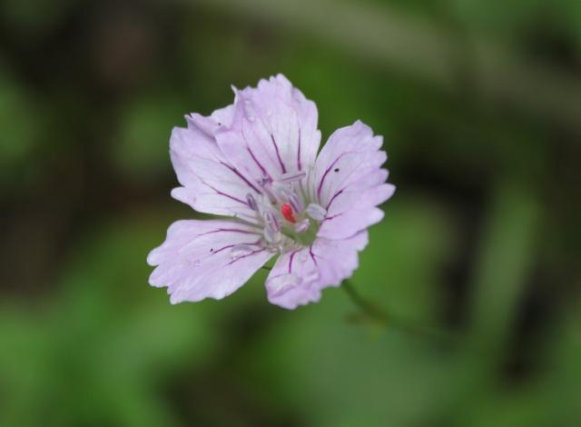 Geranium nodosum [identification] 9_8410