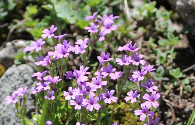 Erinus alpinus - érine des Alpes Erine10
