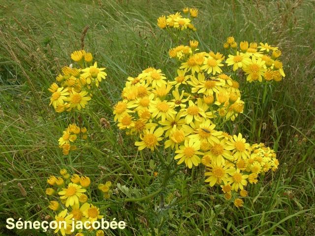 Jacobea vulgaris (= Senecio jacobaea) - séneçon jacobée Saneao10