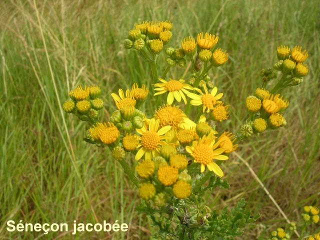 Jacobea vulgaris (= Senecio jacobaea) - séneçon jacobée Saneao11