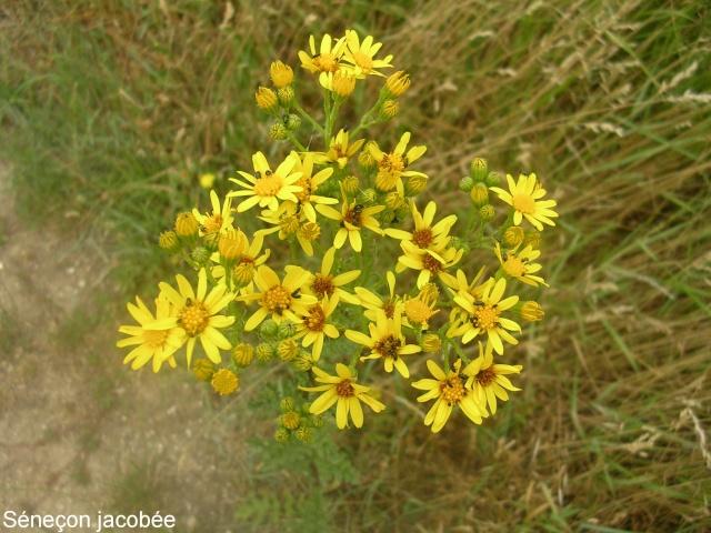 Jacobea vulgaris (= Senecio jacobaea) - séneçon jacobée Saneao12