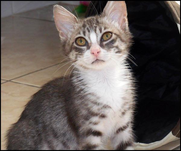 LILY superbe chaton tigrée à l'adoption 14884610