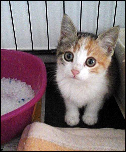 MIDJY petite chatonne tricolore 15046210